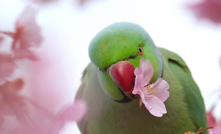 Papagal Marele Alexander ciugulind o floare roz.
