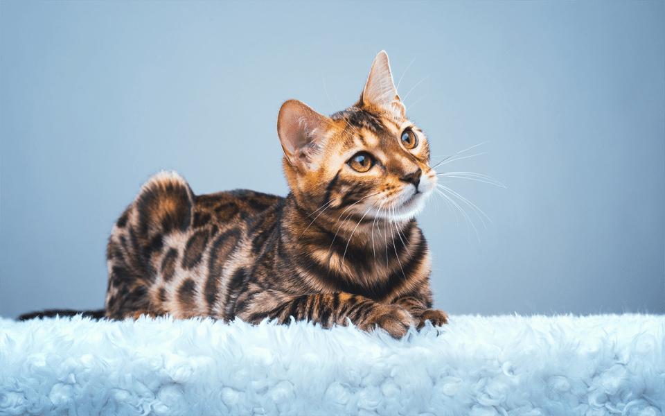 Pisica Bengaleza stand culcata pe o patura albastra.