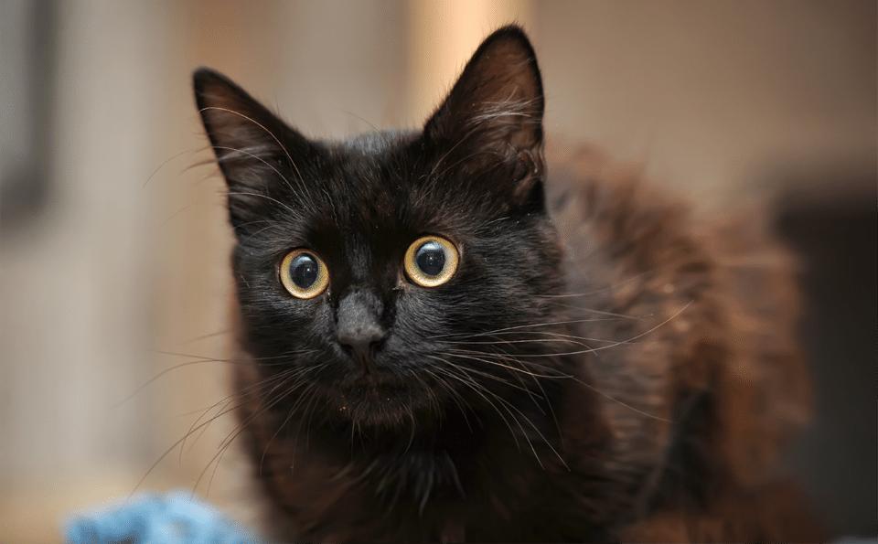 Pisica Bombay vazuta de aproape.