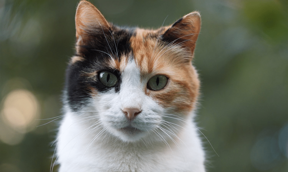 Pisica rasa Calico vazuta de aproape.
