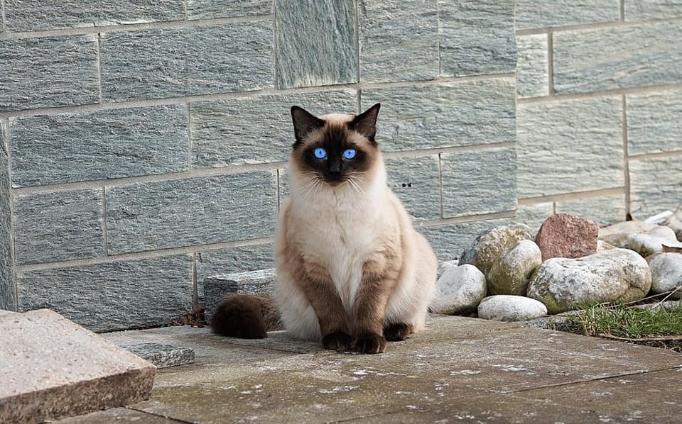 Pisica Birmaneza stand langa un zid.