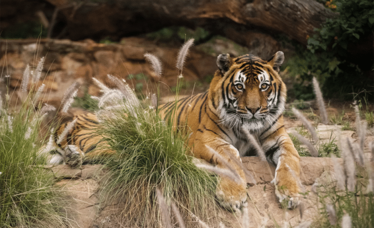 Tigru odihnindu-se vazut de aproape.