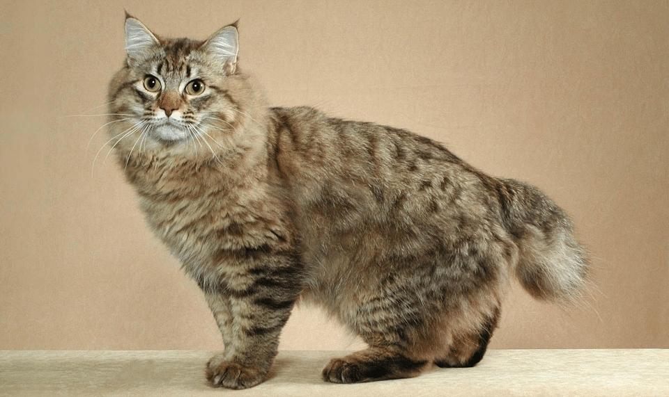 Pisica American Bobtail.