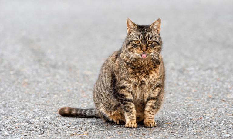 Pisica stand in fund si cu limba scoasa.