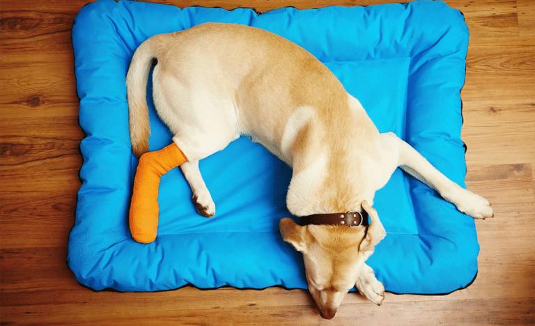 Catel cu un picior bandajat dormind intr-un culcus albastru.