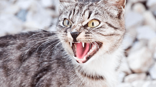 Pisica agresiva vazuta de aproape.