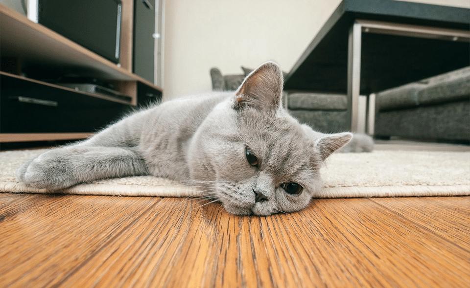 Pisica gri culcata vazuta de aproape.