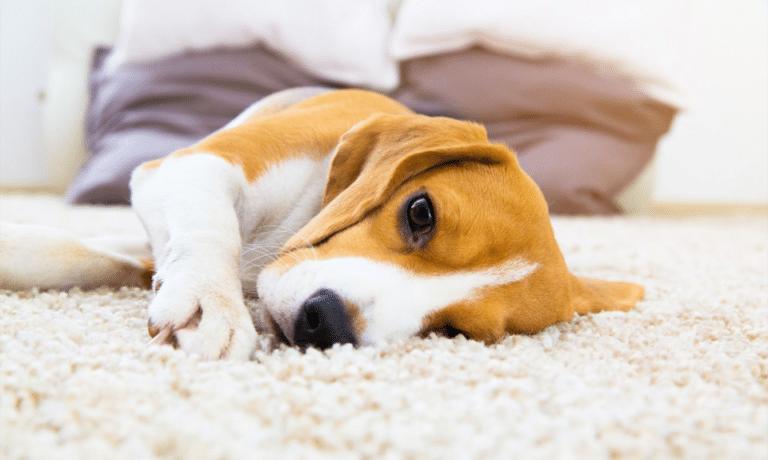 Caine Beagle stand culcat intr-o parte pe covor.