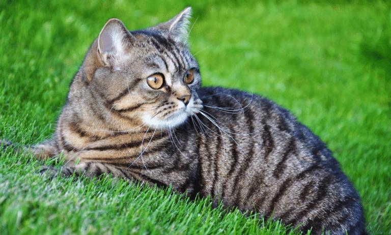 Pisica vargata stand in iarba.