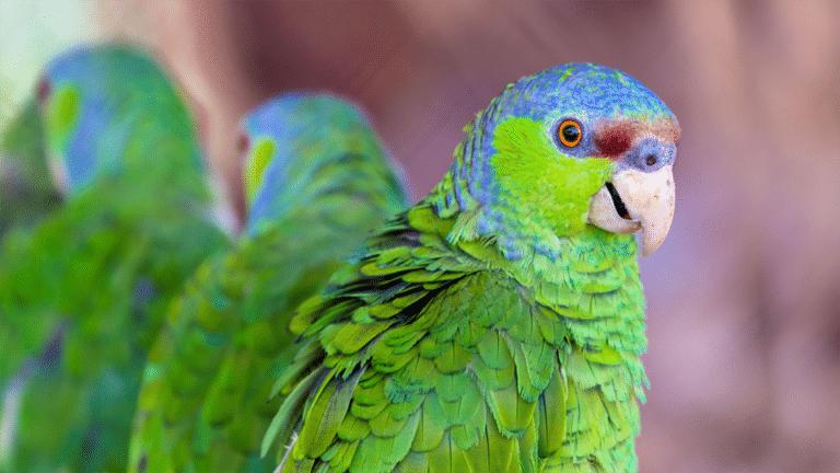 Papagal amazonian vazut in prim plan.