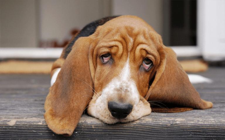 Caine Beagle culcat pe podea vazut de arproape.