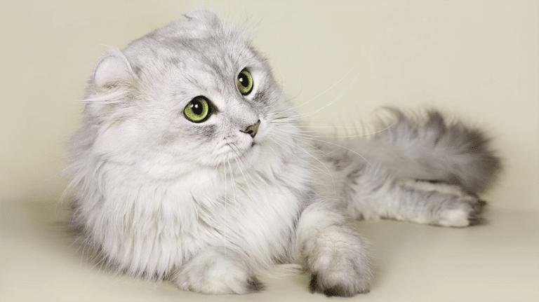 Pisica American Curl stand culcata si vazuta de aproape.