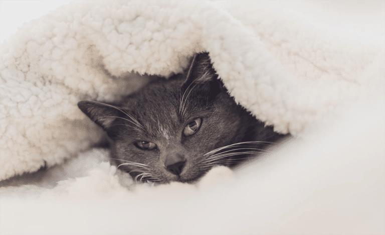 Pisica sub o patura alba.
