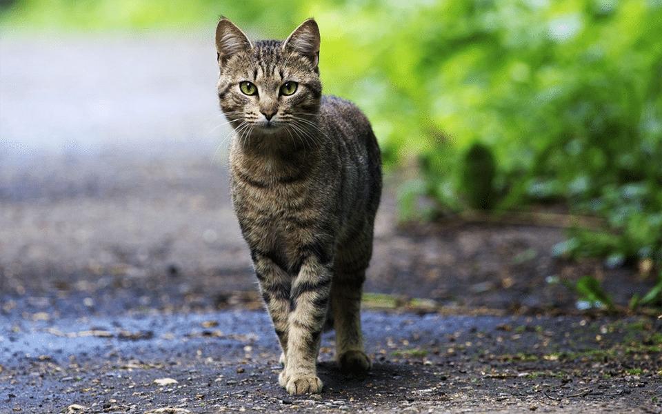 Pisica vargata vazuta de aproape.