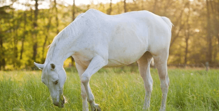 Cal alb pascand pe o pajiste.