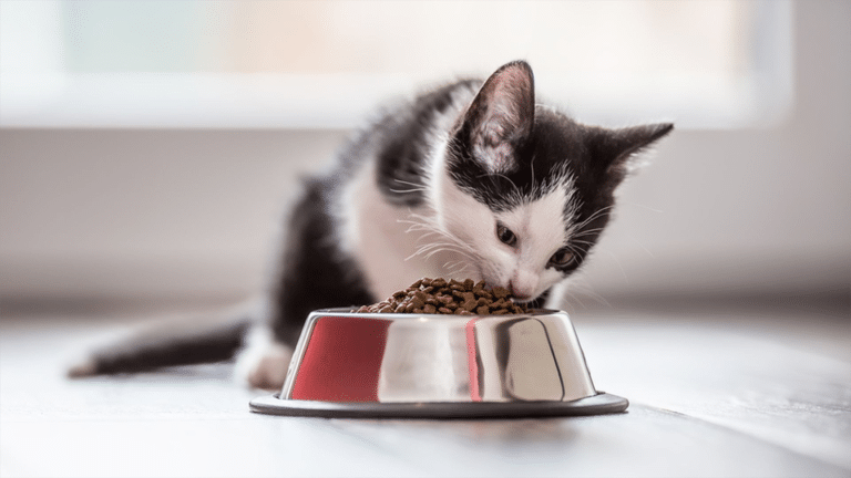 Pui de pisica mancand boabe dintr-un bol.