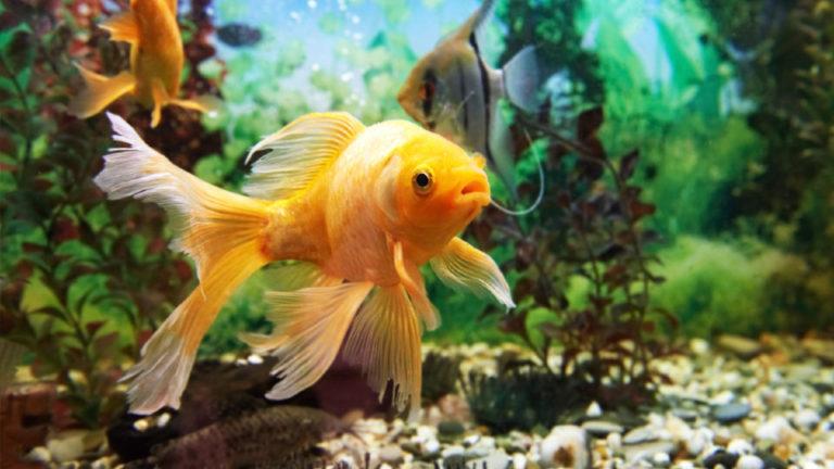 Peste auriu in apa intr-un acvariu vazut de aproape