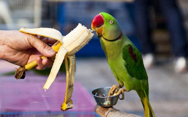 Papagal mancand dintr-o banana.