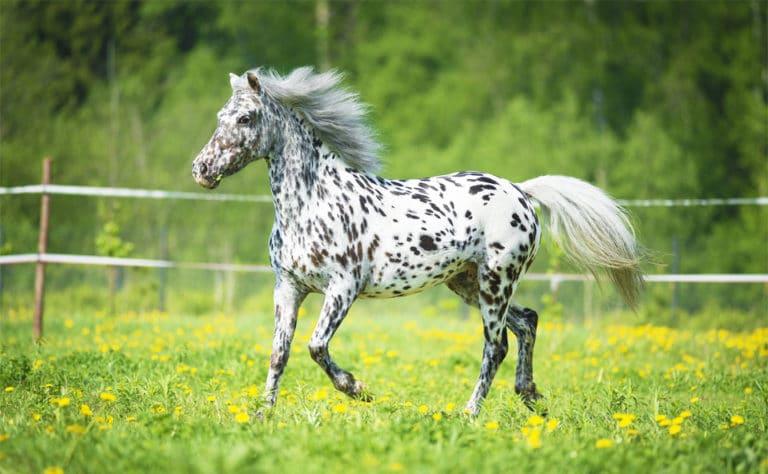 Cal alb cu pete negru alergand pe o pajiste.