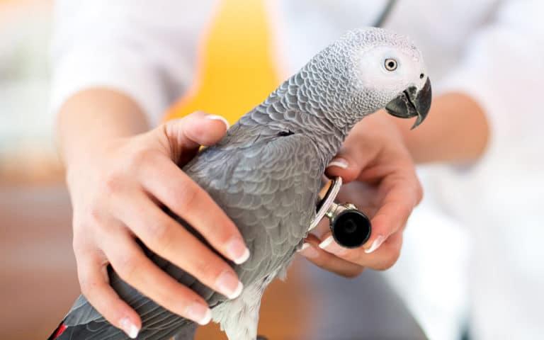 Papagal gri ce este consultat cu un stetoscop