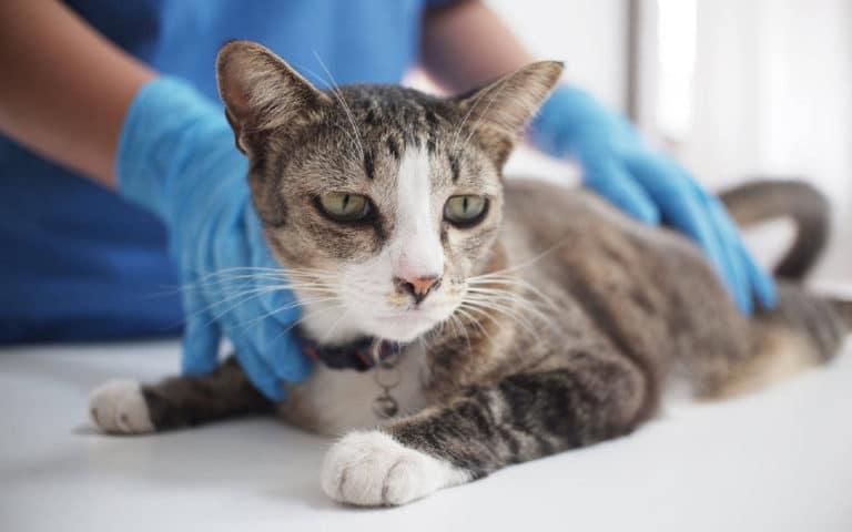 Pisica ce este consultata la veterinar