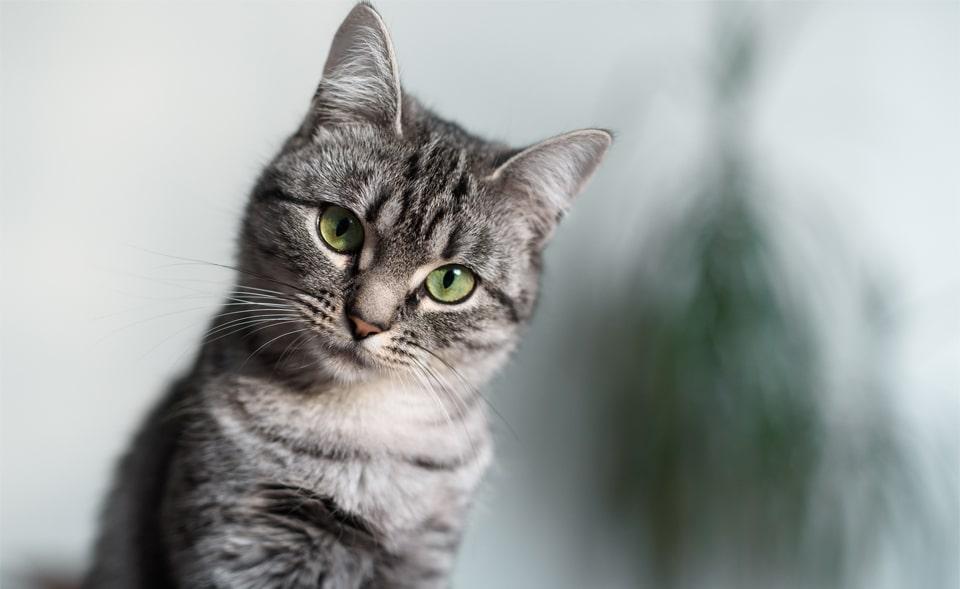 Pisica American Shorthair vazuta de aproape.