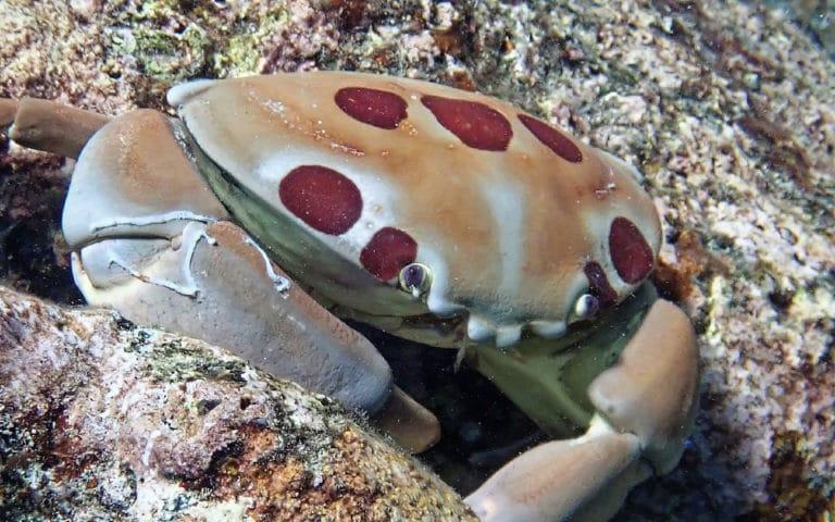 Un crab patat stand in recif