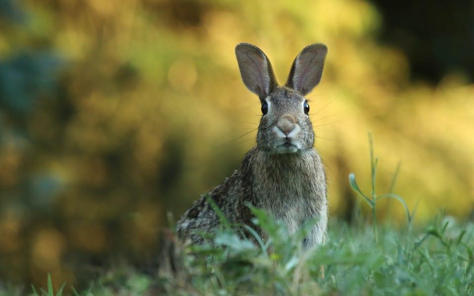 Iepure gri ce sta in iarba cu urechile ciulite