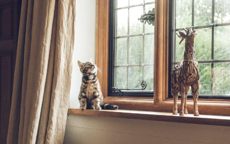 Pisoi gri ce sta pe pervazul unei ferestre