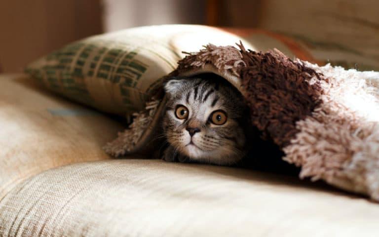 O pisica gri ce sta sub o patura