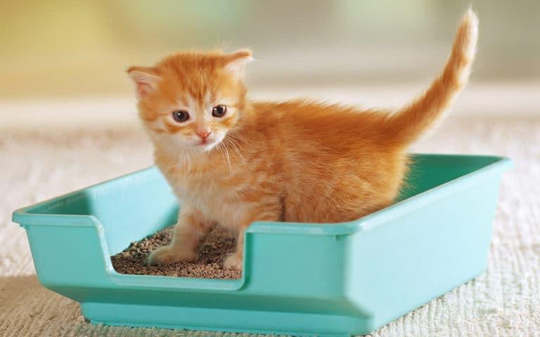 Pisica potocalie ce sta intr-o litiera