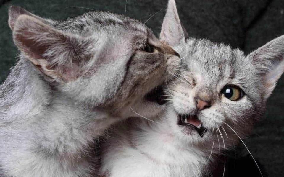O pisica gri musca alta pisica gri de cap