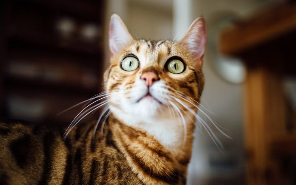 Pisica portocalie cu ochii larg deschisi