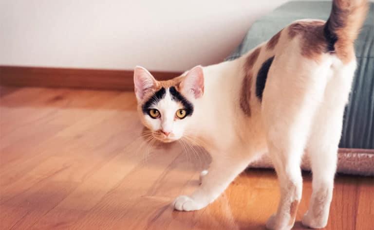 Pisica colorata aratandu-si fundul.