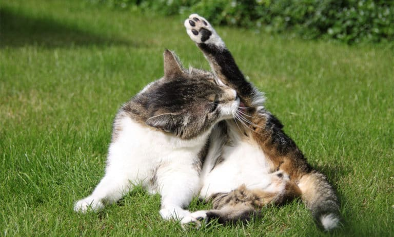 Pisica lingandu-si un picior din spate.
