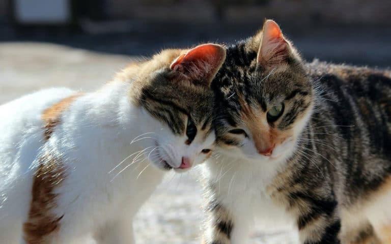 Doua pisici ce isi ating capetele