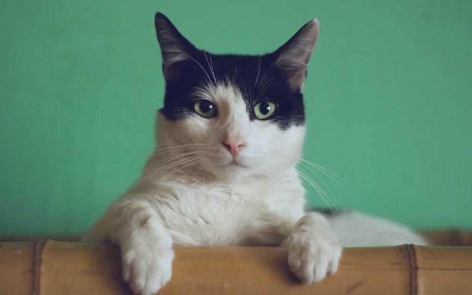 O pisica alba ce sta in fata unui perete verde