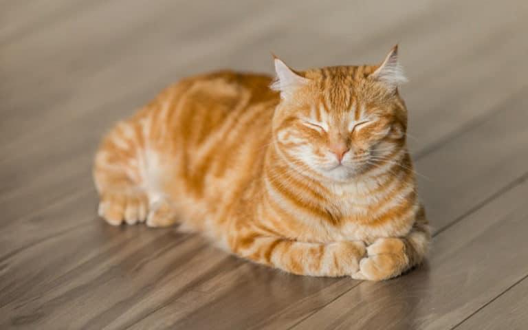 O pisic portocalie ce sta pe parchet