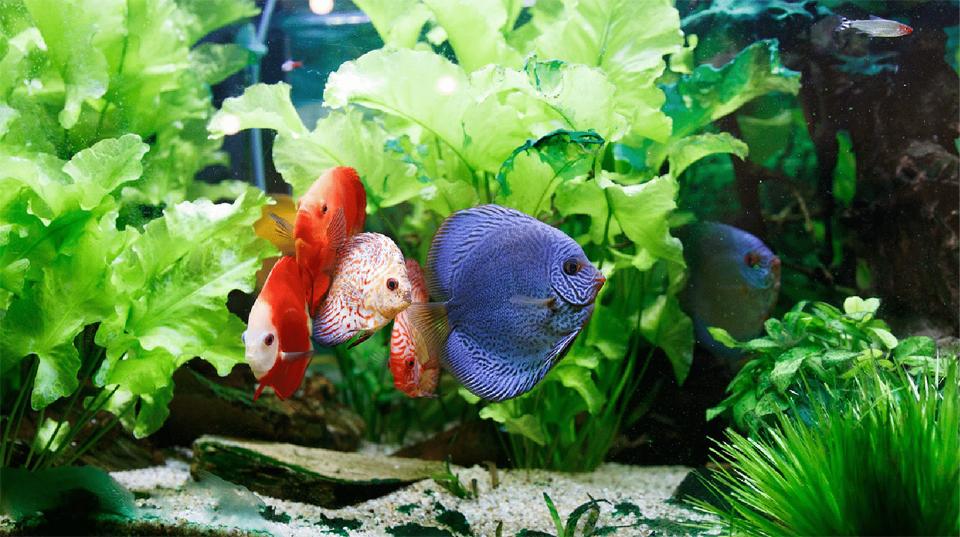 Cinci pesti de diferite culori intr-un acvariu.