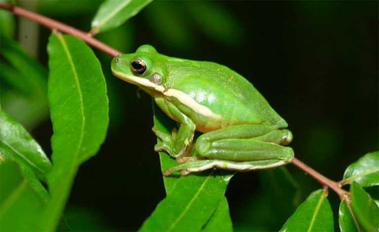 Brotac verde american pe o planta.