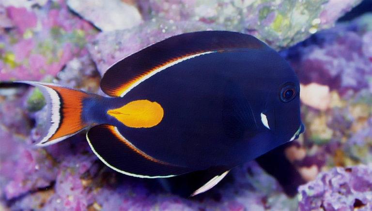 Pește Achilles Tang vazut de aproape.