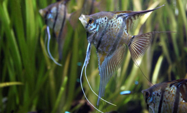 Pesti scalari inotand intr-un acvariu.
