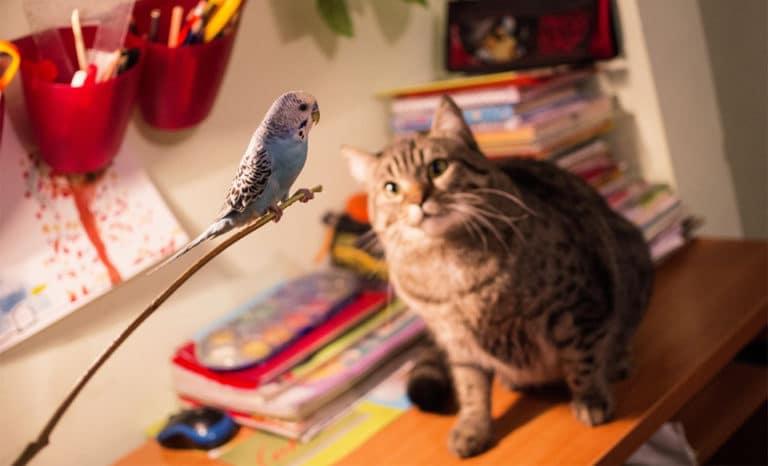 Pisica uitandu-se la un papagal.