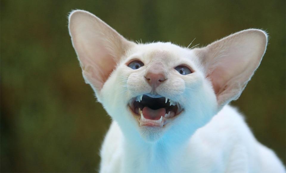 Pisica alba cu urechi mari mieunand.