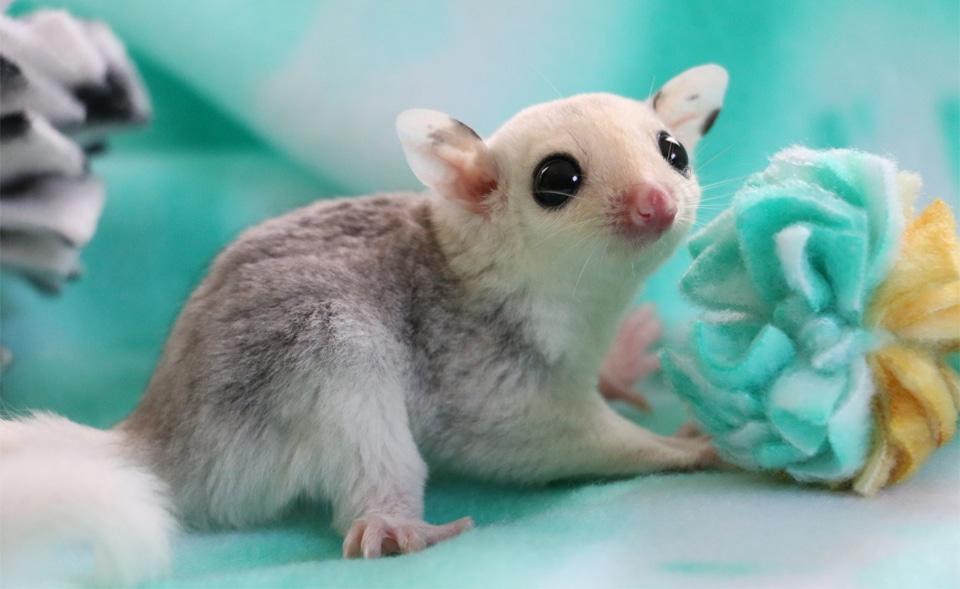 Veverita marsupiala langa o jucarie.