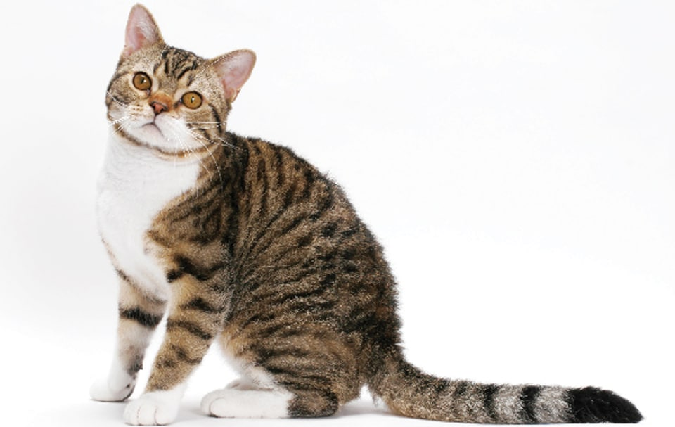 Pisica American Wirehair stand in fund.