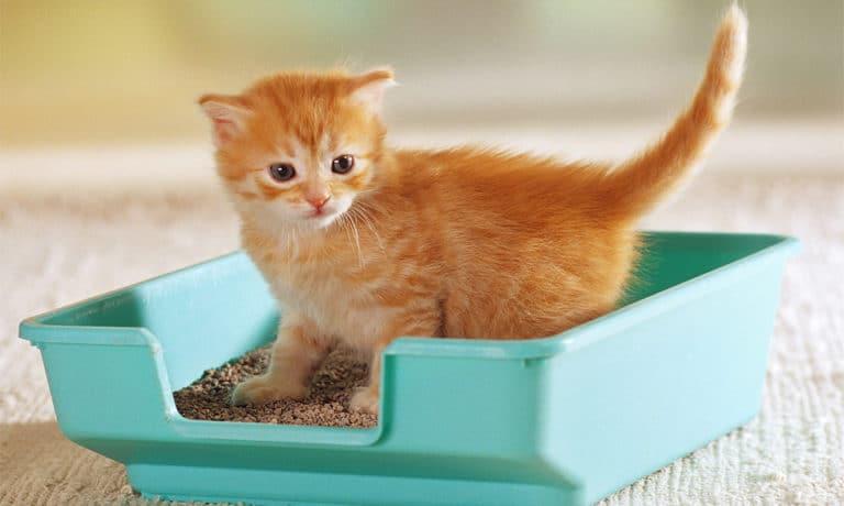 Pui de pisica stand intr-o litiera.