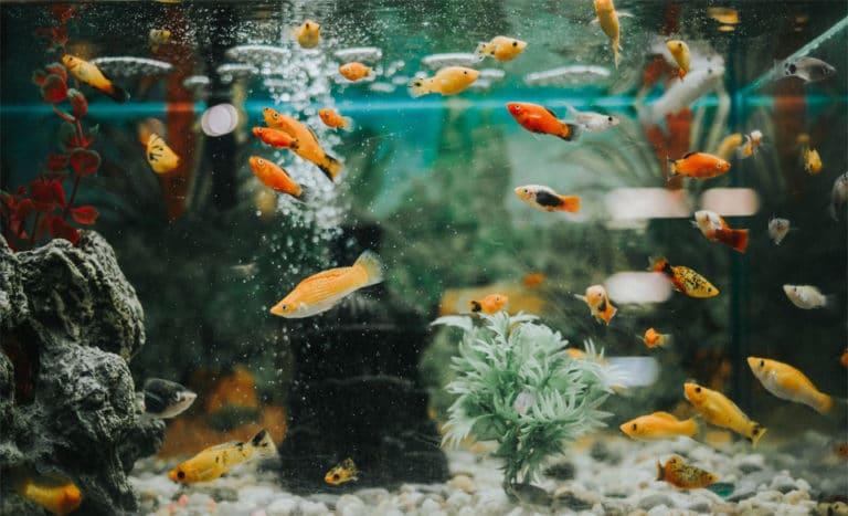 Diferite tipuri de pesti intr-un acvariu.