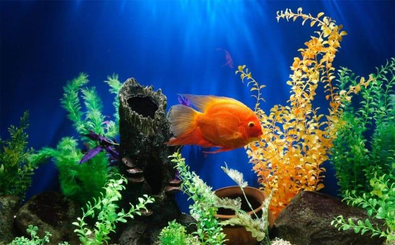 Peste portocaliu intr-un acvariu.