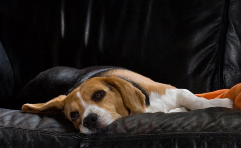 Caine Beagle stand culcat intr-o canapea.